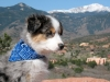 Rio the Australian Shepherd